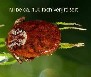 Grasmilbe-Bild-Makroaufnahme so sieht eine Grasmilbe aus